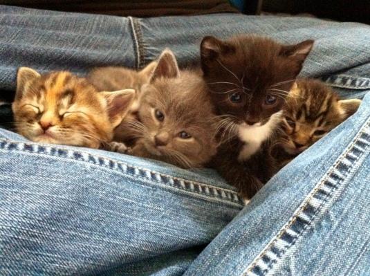 Lap Kittens